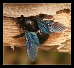 Blaue Holzbiene / Carpenter Bee