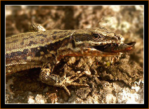 Eidechse mit Beute / Lizard and prey